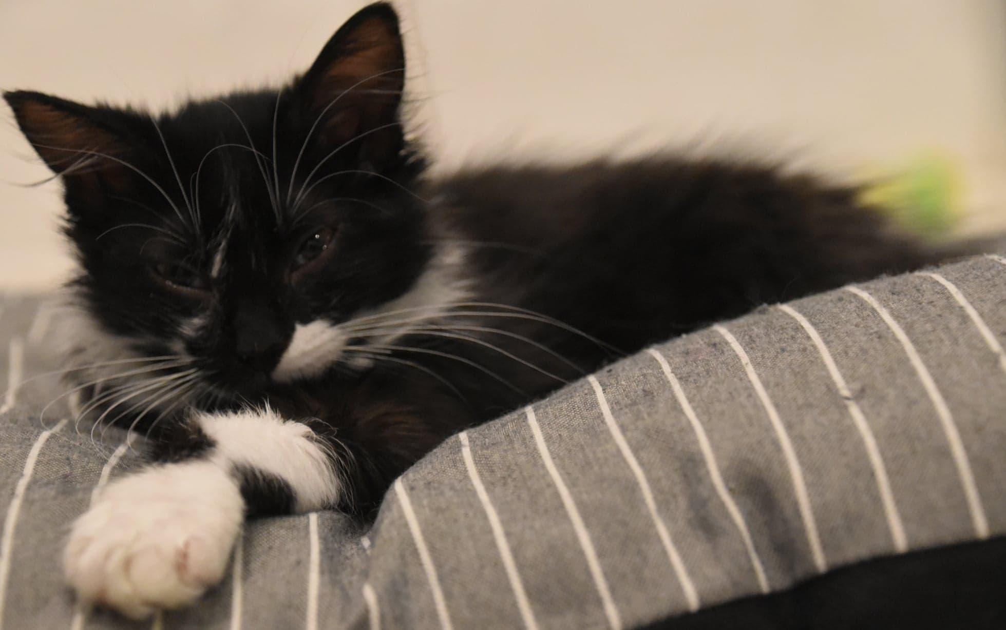 Réglisse ♀ chaton – FA