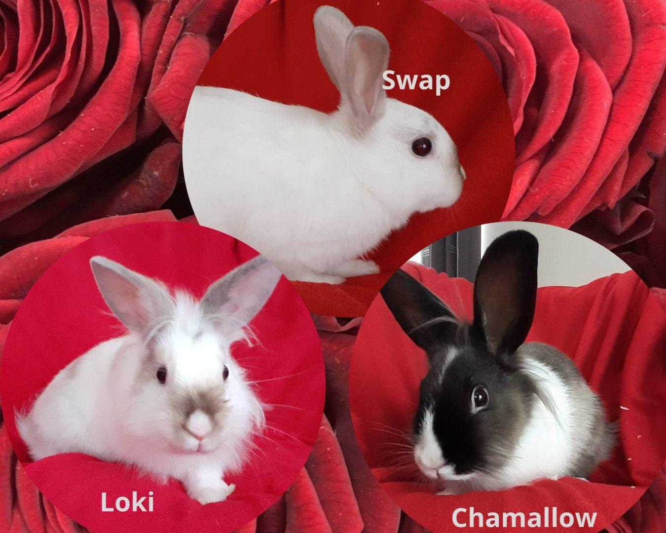 Swap – Chamallow – Loki ♂ lapereaux – FA