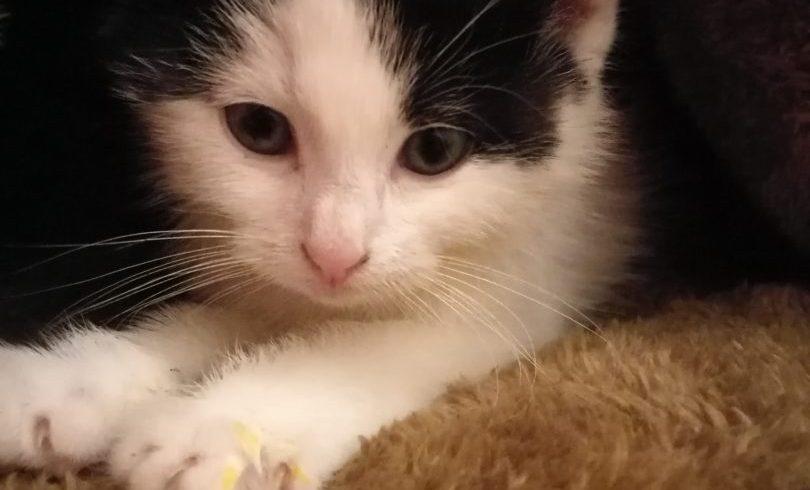 Arsouille ♂ chaton – FA – visite en cours