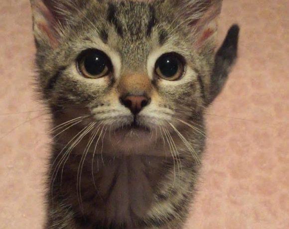 Boon ♂ chaton – Refuge ( demande en cours )