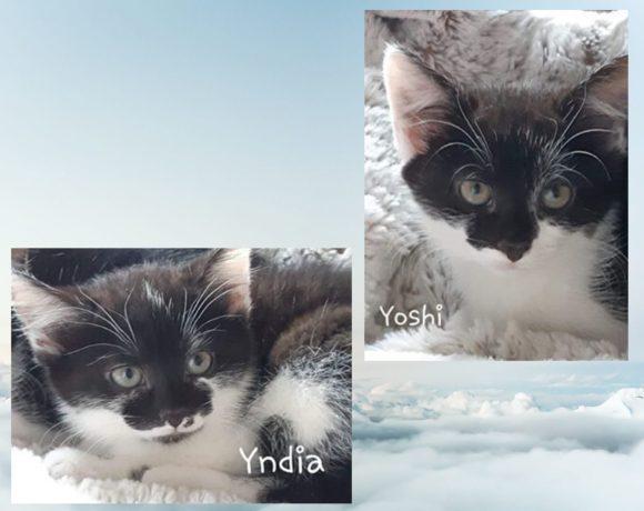Yndia (réservée) et Yoshi (visite en attente) ♀ – chatons – FA
