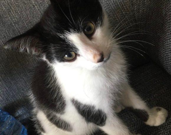Wyllo ♂ chaton – FA (en attente)