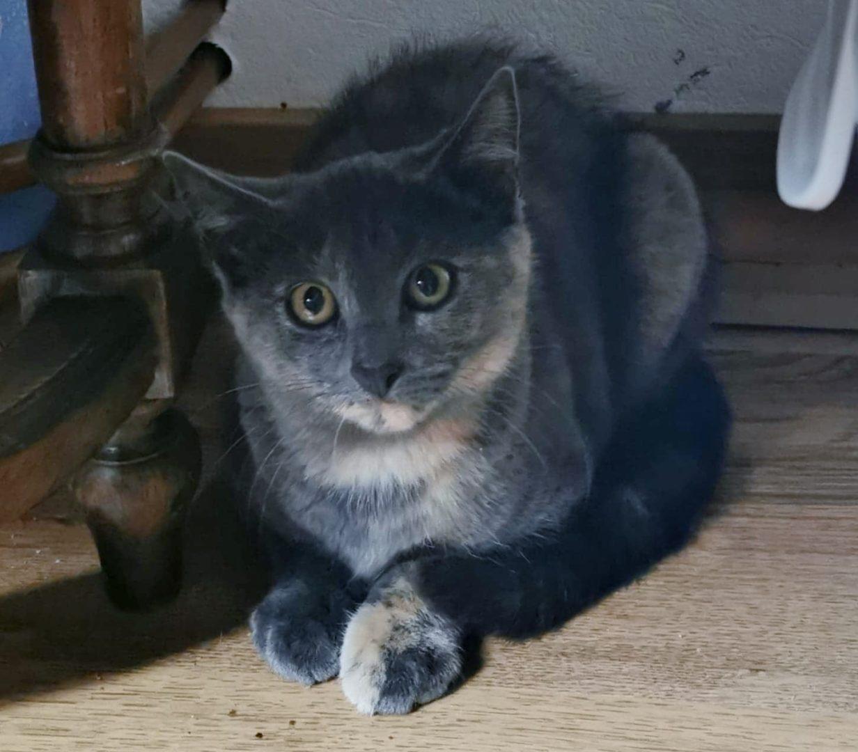 Smoothie ♀ chaton – FA
