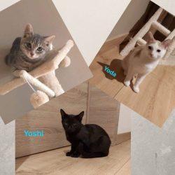 Yoshi, Yoda & Yoko ♂ chatons – FA