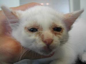 chat-atteint-par-teigne