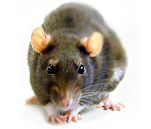 rat-leptospiroses