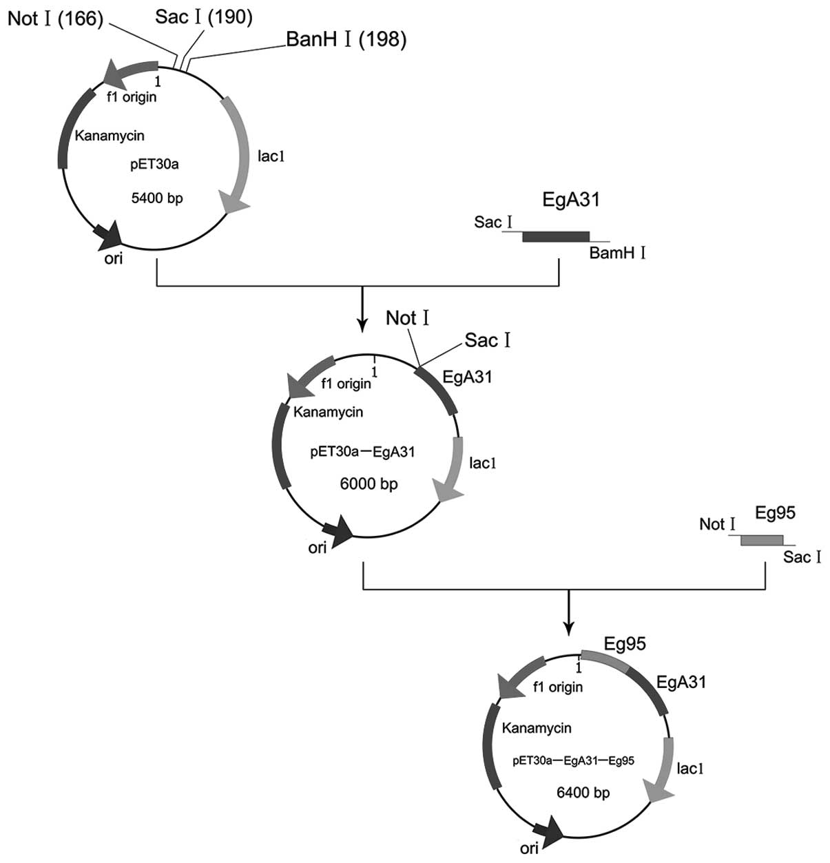 Construction And Identification Of The Recombinant Plasmid