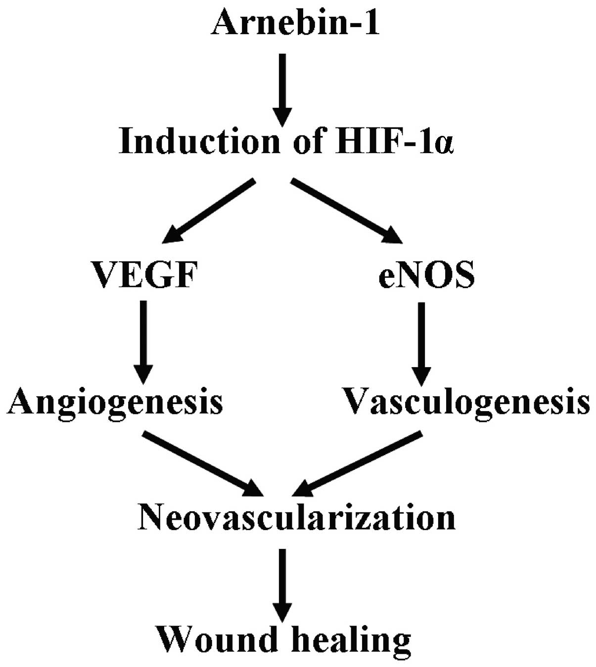 Arnebin 1 Promotes Angiogenesis By Inducing Enos Vegf And