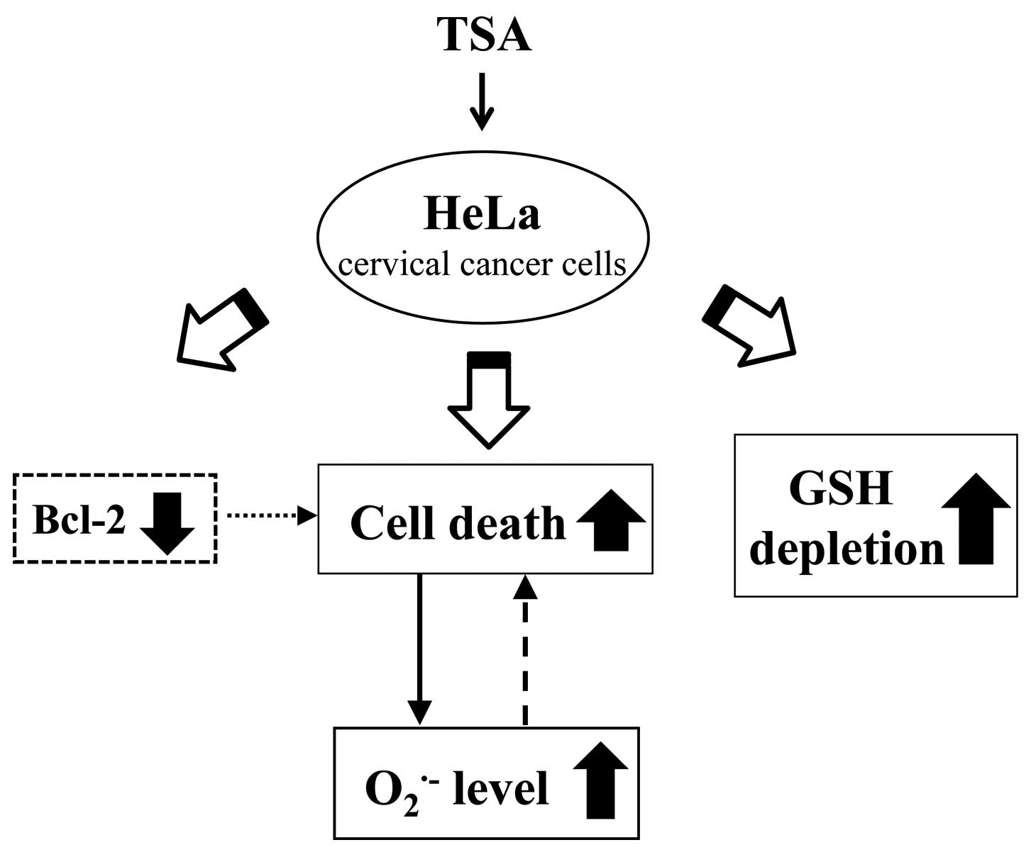 Trichostatin A Induces Apoptotic Cell Of Hela Cells