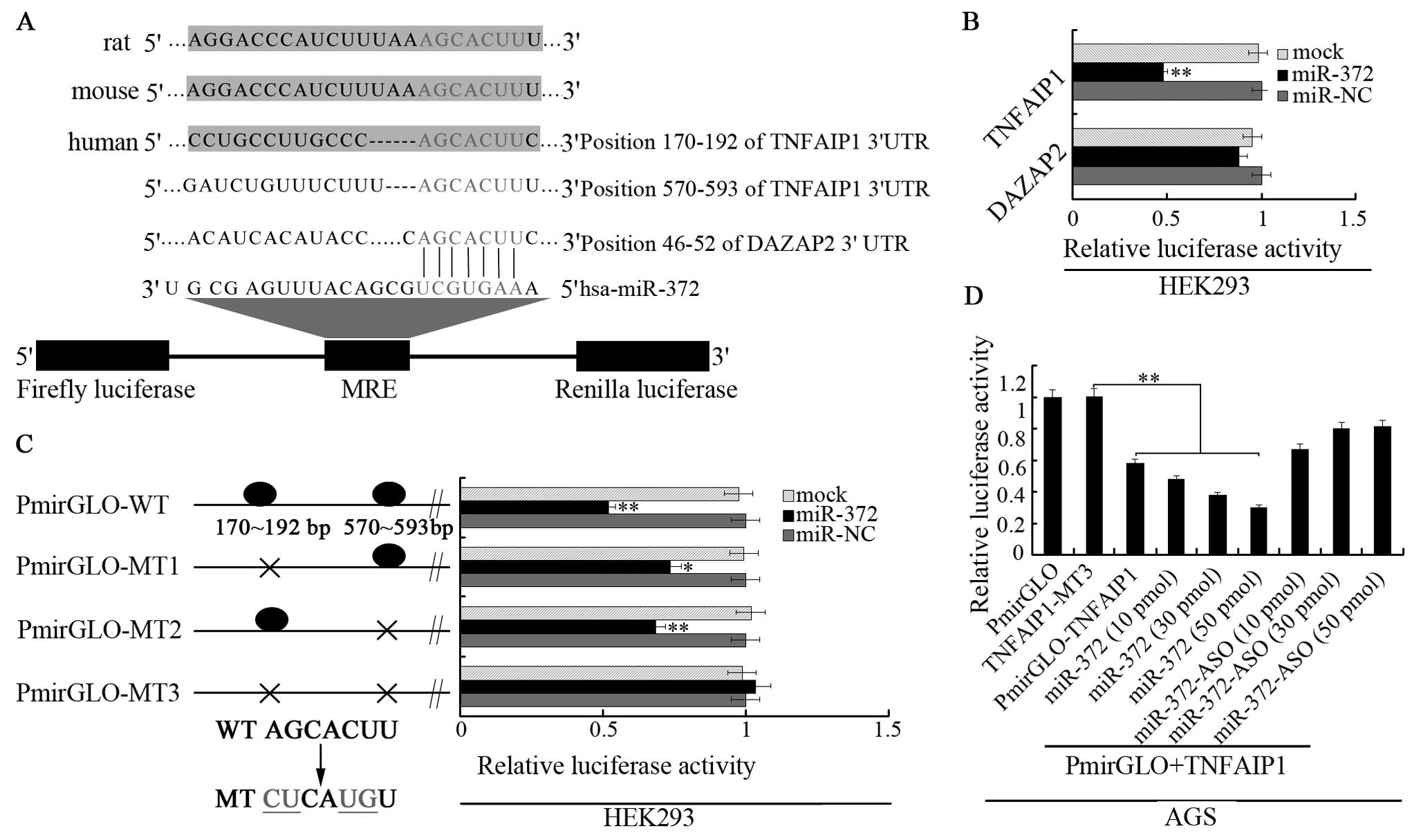 Microrna 372 Maintains Oncogene Characteristics By