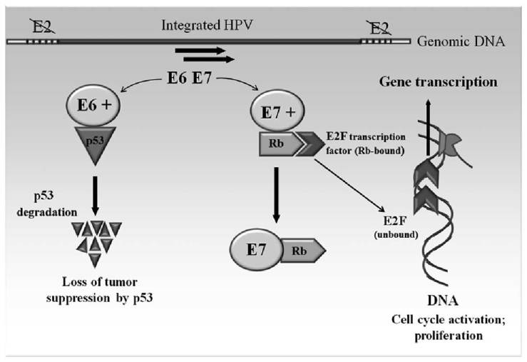 Relevance of infection with human papillomavirus: The role of the ...