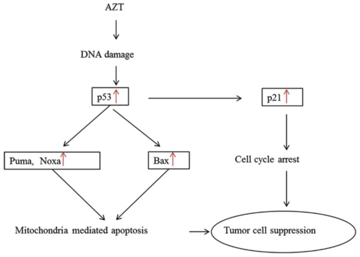 Differences In Telomerase Activity And The Effects Of Azt In Aneuploid And Euploid Cells In