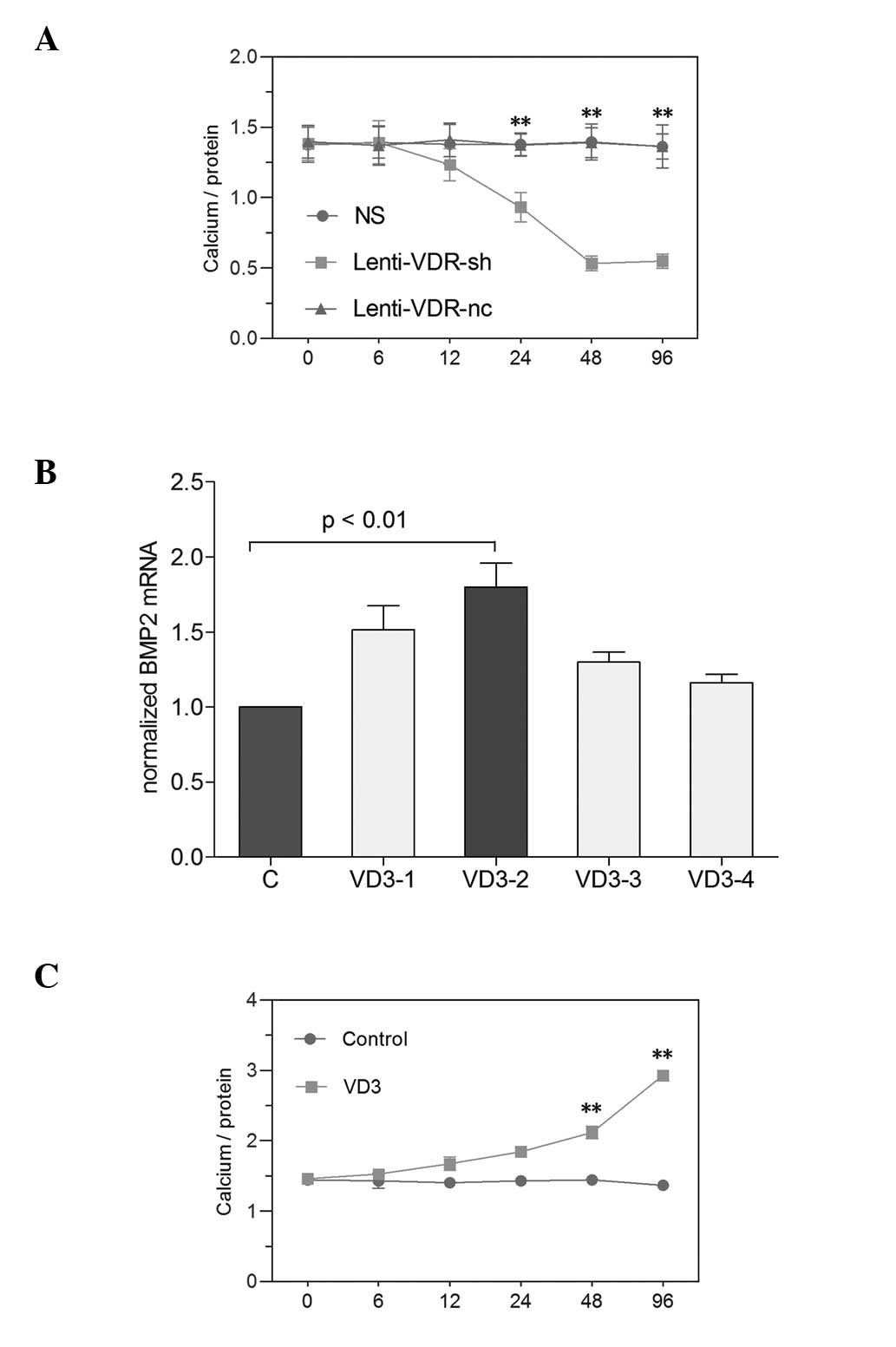 Role Of Calcium In The Regulation Of Bone Morphogenetic Protein 2 Runt Related Transcription