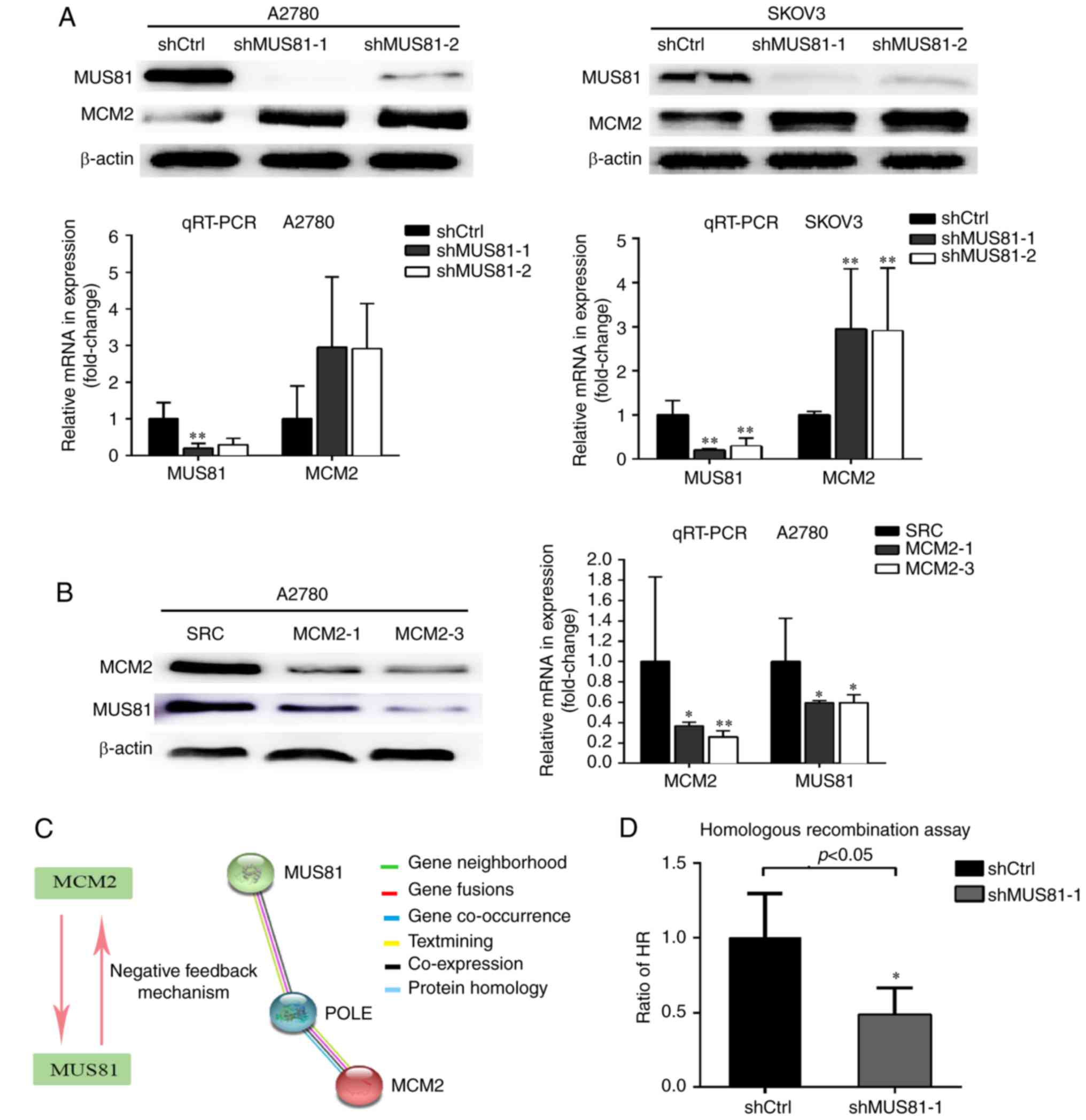 Inhibition Of Mus81 Improves The Chemical Sensitivity Of Olaparib By Regulating Mcm2 In