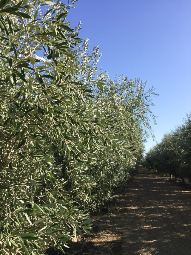 California Olive Trees