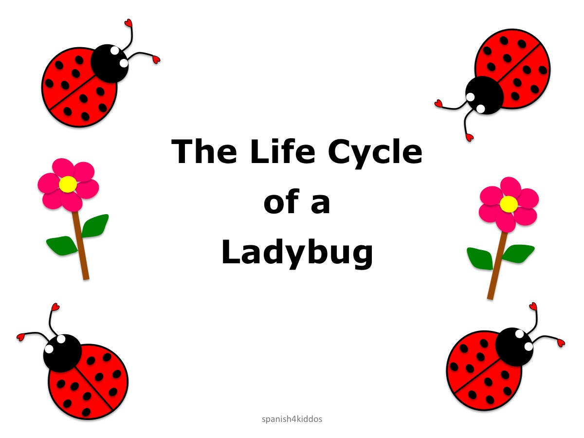 Life Cycle Ladybug1 Spanish4kiddos Educational Resources