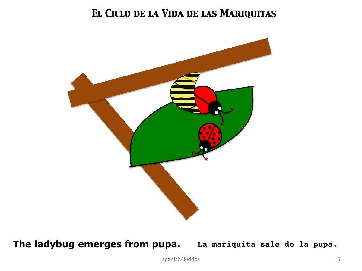 Life Cycle Ladybug5 Spanish4kiddos Educational Resources