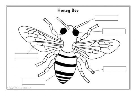Bee Parts Worksheet - The Best Bee 2017