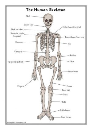 Human Skeleton Labelling Sheets (SB7889)  SparkleBox