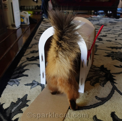 somali cat walking into mailbox scratcher