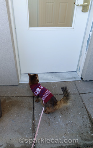 somali cat in sweater is done with her snow day