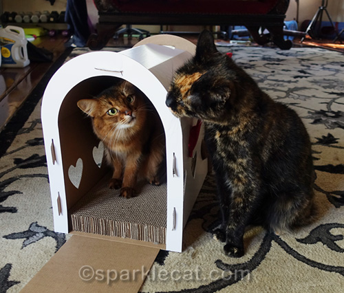 somali cat in mailbox scratcher looking at tortoiseshell cat