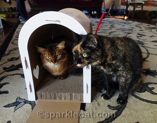 somali cat in mailbox scratcher with tortoiseshell cat pestering her
