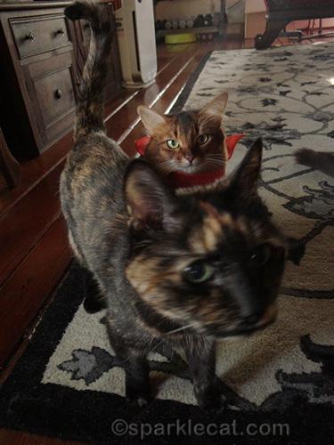 tortoiseshell cat walks in front of somali cat in costume