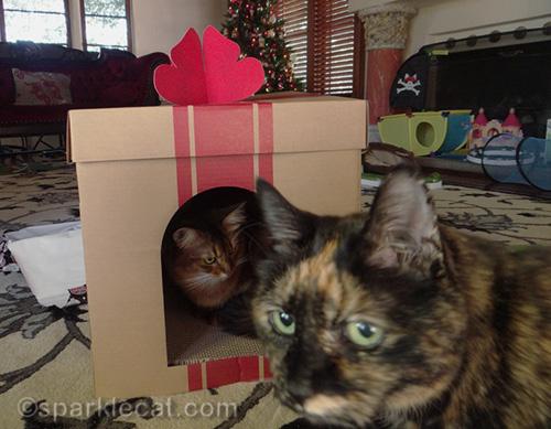 tortoiseshell cat walks in front of somali cat in box