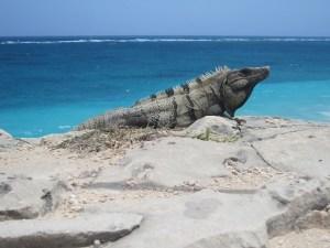 lizard Iguana Tulum, Mexico