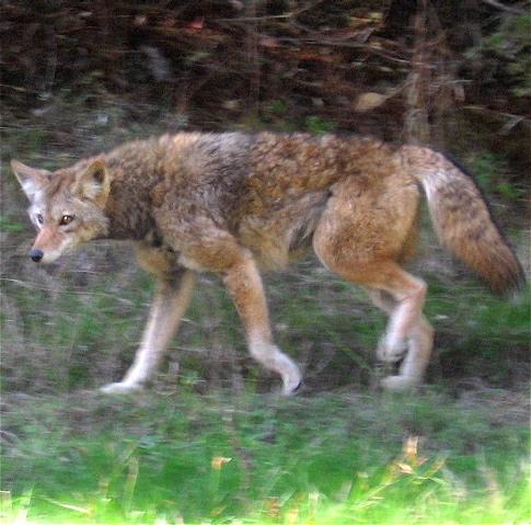 coyotenov27_1_2.jpg