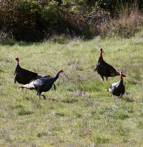 Before long, four wild turkeys showed up in my pasture and proceeded to chase each other in circles.