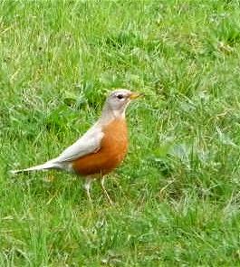 white-robin-8
