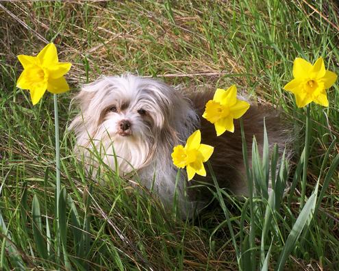 seba-daffodils