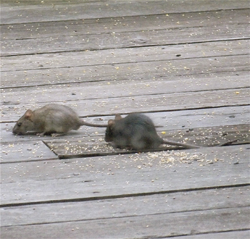 Also Enjoying Birdseed On My Deck Are Roof Rats, Which On Some Evenings  Show Up Even Before The Birds Leave.