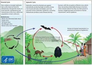 Ebola-Cycle-or-EVD-Cycle.jpg