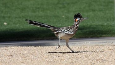 Greater_Roadrunner_(Geococcyx_californianus)_(3399096675)