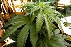 marijuana piante foggia