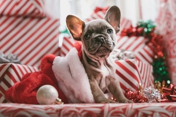Christmas Preparations – Pick out your outfit like this cute dog in a santa hat