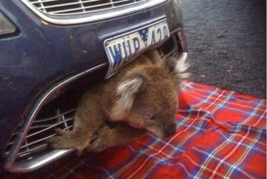 ford falcon accident koala vivant- insolite faits divers-specialist auto