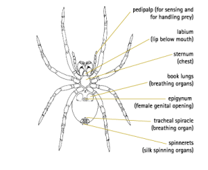 Wolf Spider Life Cycle