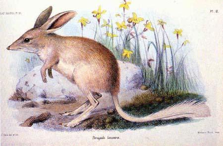 Kleiner Kaninchennasenbeutler - Diese Bilby-Art ist leider bereits ausgestorben
