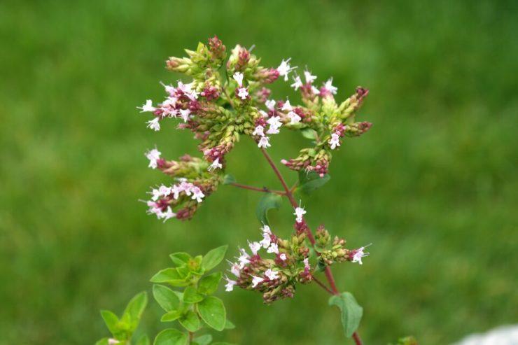 Oreganopflanze mit rosa Blüten