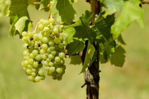 Weintraube an der Rebe