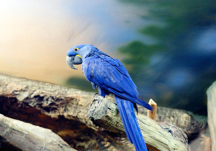 Blauaras wie dieser Hyazinthara stehen im Anhang I von CITES
