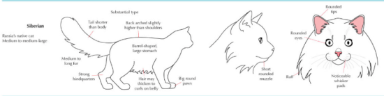 siberian cat breed appearance