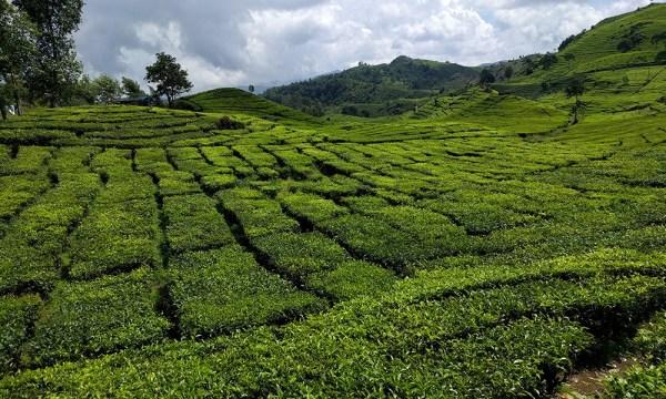 travel_java_indonesia_tea_plantation