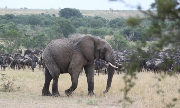 safari_africa_big_5_elephant