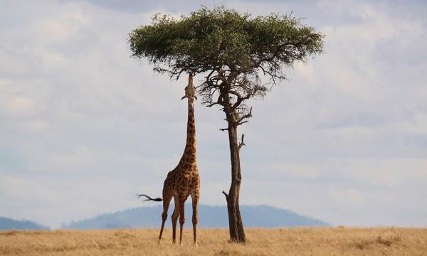 safari_africa_tips_giraffe