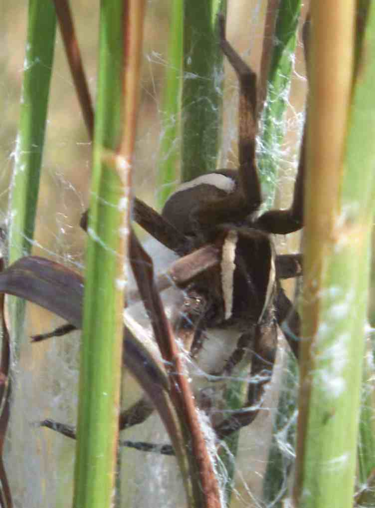 Dolomedes Vittatus Raft Spider on water